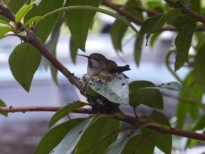 hummingbird sitting on nest
