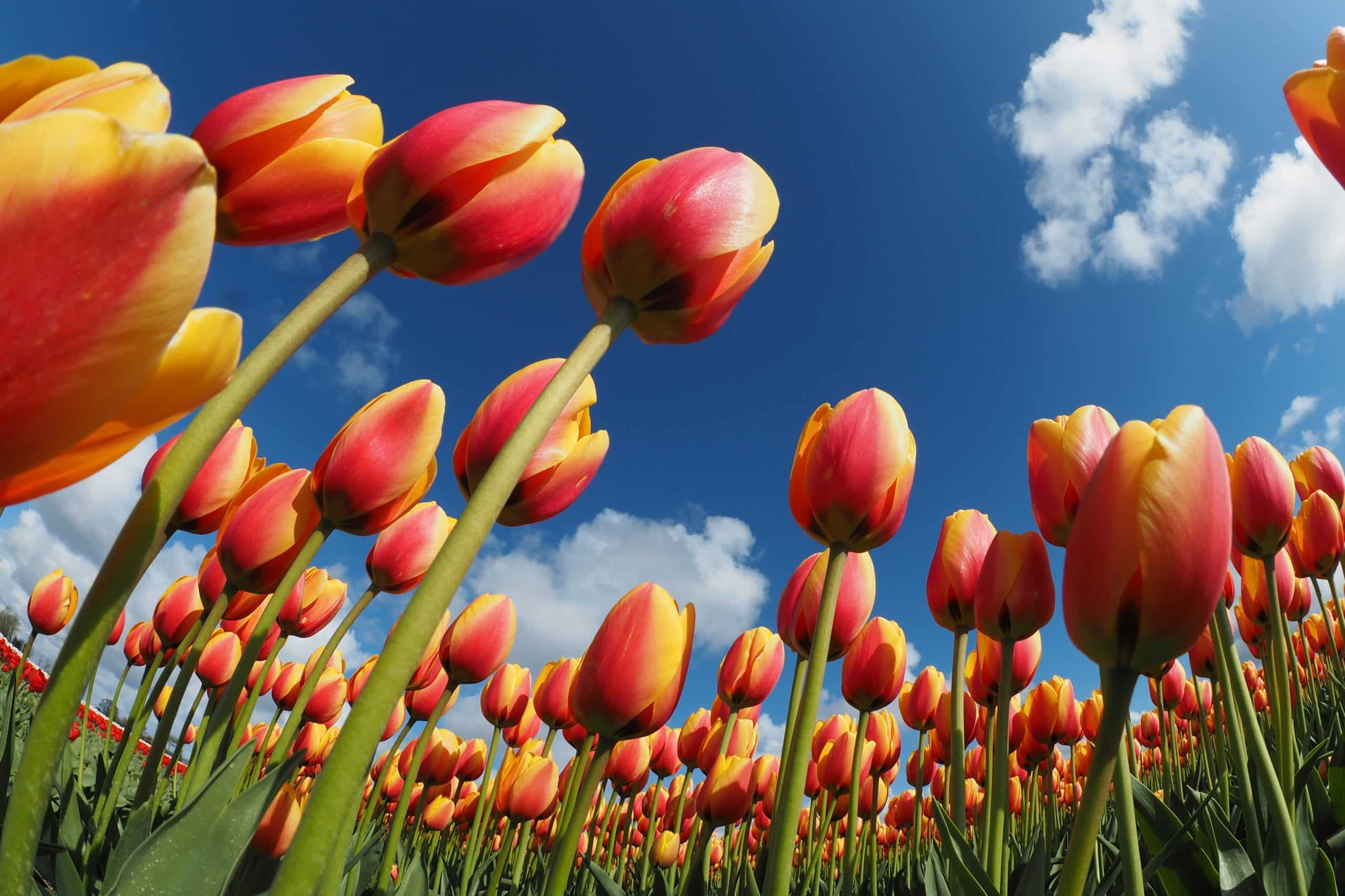 red and orange tulips in a green field on sunny day under a bright blue sky